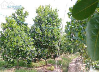 Bán 8.800m2 đất xã Mỹ Đức Đông, Cái Bè, Tiền Giang, trên đất có vườn sầu riêng, mít Thái. - 0