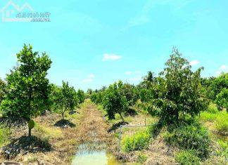 Bán 8.500m2 đất xã Hậu Mỹ Trinh, Cái Bè, Tiền Giang, trên đất có vườn sầu riêng, mít Thái. - 0