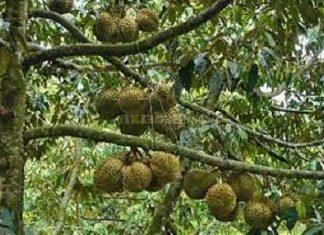 Cần cố lại vườn sầu riêng đang chuẩn bị làm trái