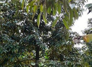 Chính chủ bán Vườn Sầu Riêng đang ra hoa ở Cai Lậy, Tiền Giang